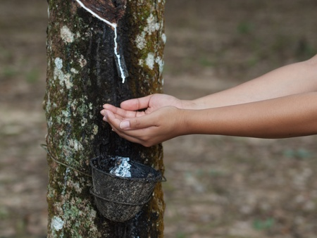 Rubber tree plantation photo