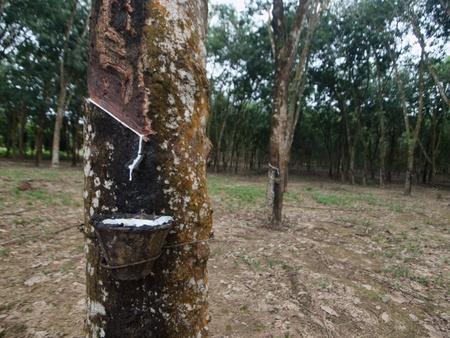 Rubber tree plantation Stock Photo - 11133579