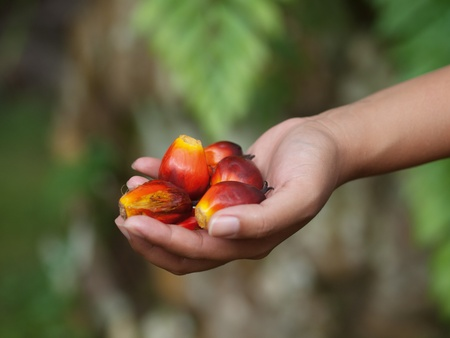 Oil palm fruits photo