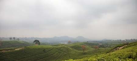 Tea plantation landscape in Indonesia photo
