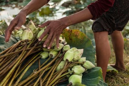 khmer: Cambodian woman harvesting lotus flower