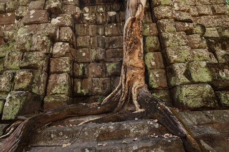 history architecture: Tree growing on a prasat linga temple in Koh ker lost city from the 10th century Stock Photo