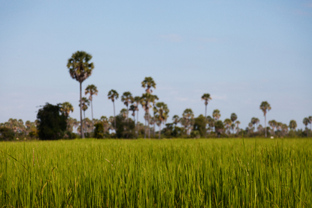 Countryside Cambodian landscape with green rice field