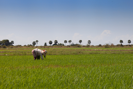 farmer working in a paddy field in siem reap cambodia Stock Photo