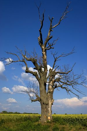 an old dry tree against the blue sky Stock Photo - 3358123