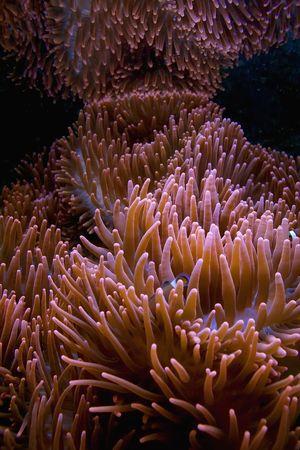 Red anemone tentacles in aquarium. Underwater scenic.