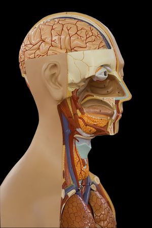 Educational anatomic model of a human body