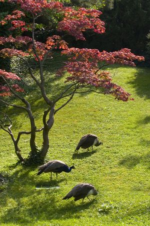 peacefull: Three peacocks under red tree in park Stock Photo