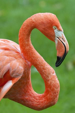 Close up shot of a flamingo profile.