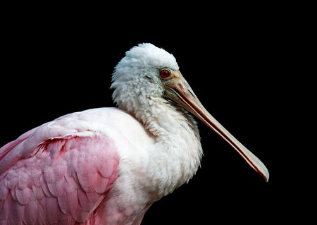 roseate: close up photograph of a roseate spoonbills head