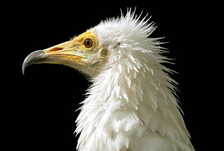 White head of egyptian vulture over black photo