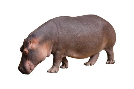 Hippopotamus  isolated in the white background. photo