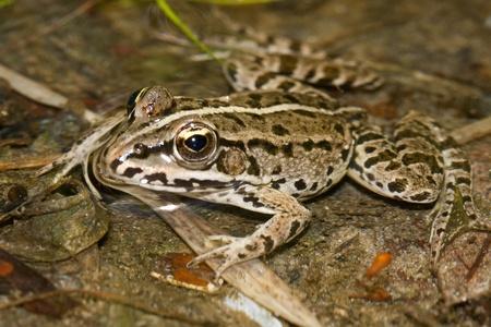 rana arvalis: European moor frog rana arvalis floating in water