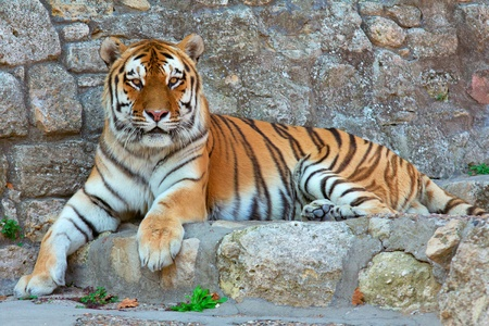 a tiger laying on a rock in zoo