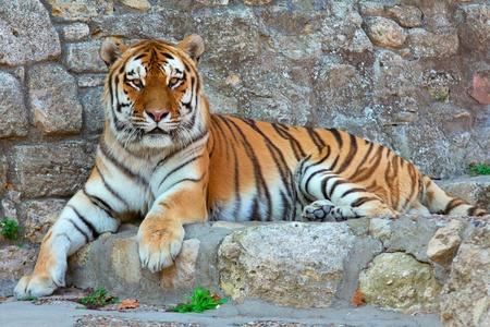 tigre blanc: un tigre portant sur un rocher dans le zoo Banque d'images