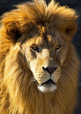 leones: Primer plano de un le�n aligerada por el sol de la ma�ana.