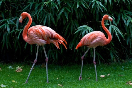 two flamingos against a green leaves  background