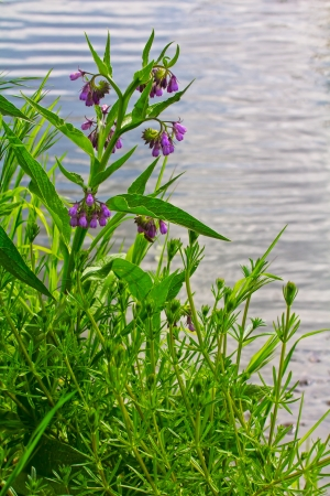 symphytum officinale: Comfrey Symphytum officinale with purple flowers on the river bank  Stock Photo