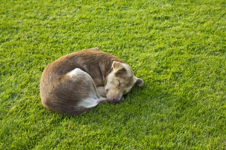 Sleeping dog lying in grass on a sunny day  Stock Photo