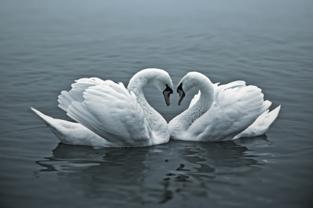 swimming bird: The couple of swans with their necks form a heart. Stock Photo
