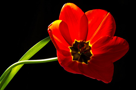 Red tulip over the black background  photo
