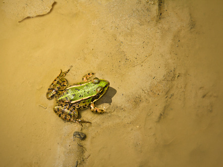anura: Green frog in the mud and shallow water