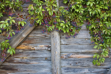 creeper: Virginia creeper on the  rustic wooden wall.