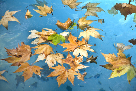 Colorful autumn leaves in the blue water of the pool