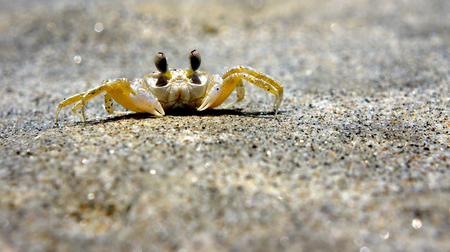 decapod: Closeup of a crab on Itamambuca beach Brazil