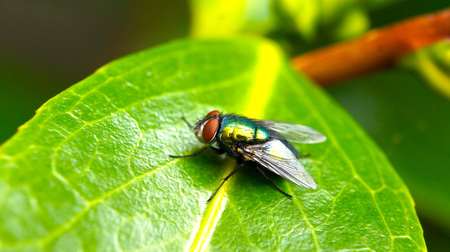 housefly: Closeup of a fly on a green leaf