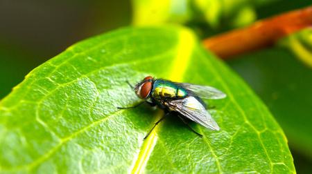 volar: Primer plano de una mosca en una hoja verde Foto de archivo