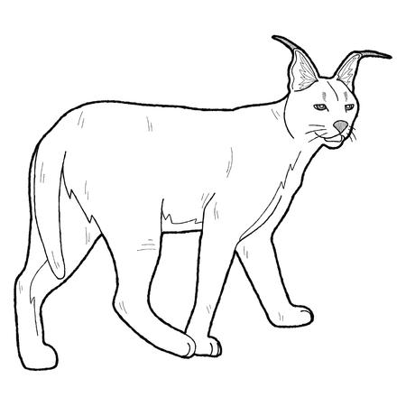lynx: African Lynx