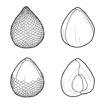 Snake Fruit Vector Illustration Hand Drawn Fruit Cartoon Art Vettoriali