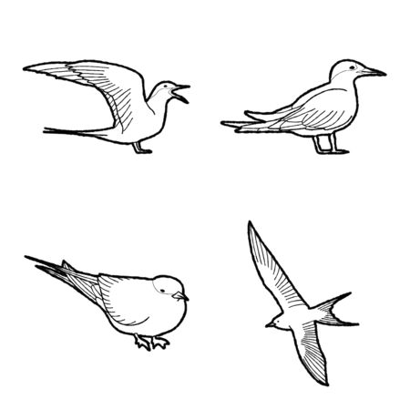 Arctic Tern Animal Vector Illustration Hand Drawn Cartoon Art