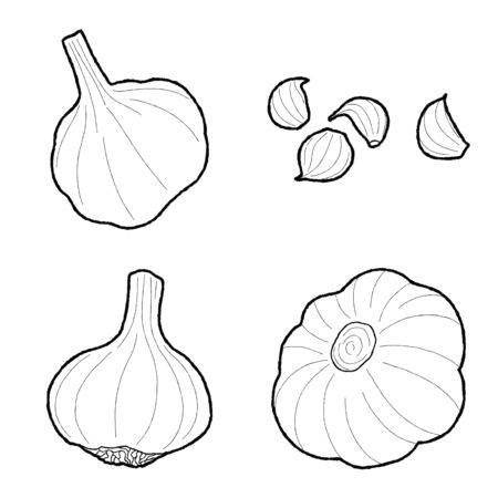 Garlic Vector Illustration Hand Drawn Vegetable Cartoon Art