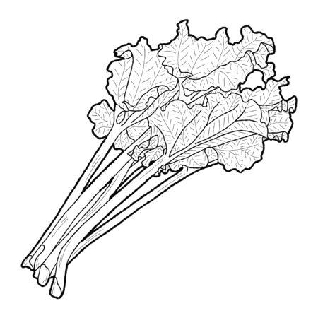 Rhubarb Vector Illustration Hand Drawn Vegetable Cartoon Art