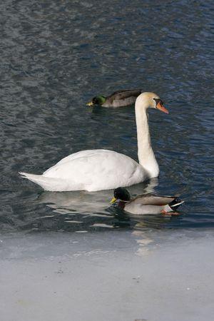 Witte zwaan en twee wilde eenden op een meertje bijna bevroren