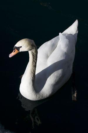 Witte zwaan zwemmen op een diepe zwarte water meer