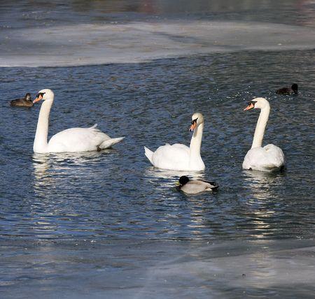 Drie witte zwanen en eenden op een vijver met ijs Stockfoto