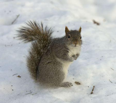 Close up van een eekhoorn staande in de sneeuw, aandacht gefascineerd door de camera Stockfoto