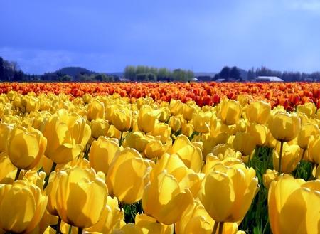 skagit: Field of yellow tulips.