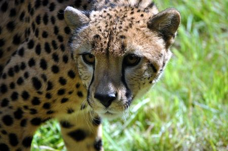 A cheetah checks things out. Reklamní fotografie