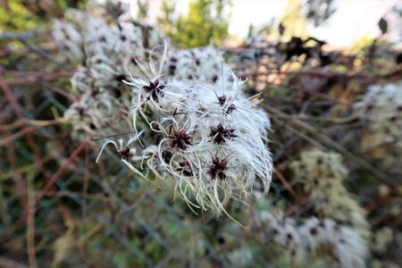 wild clematis in autumn
