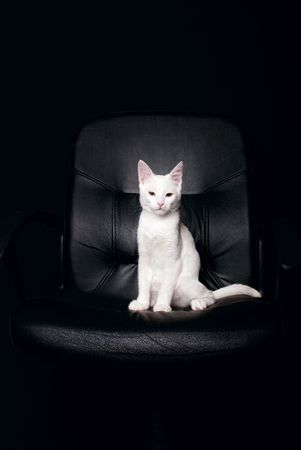 Serious cat in black armchair photo