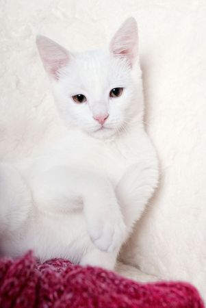 White cat in white armchair photo