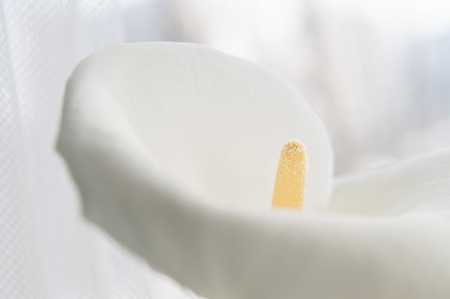 Beautiful white flower Calla (disambiguation)