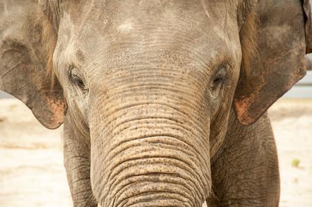 Olifant gezicht close-up