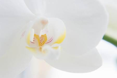 Beautiful white flower orchid (Orchidaceae)