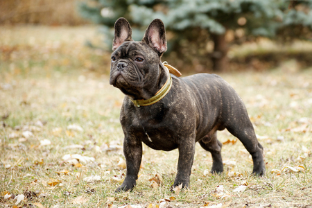 French bulldog in the park