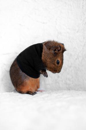 Brown Guinea pig in black T-shirt